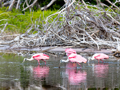 Roseate spoonbills in the Everglades National Park in Florida
